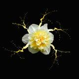 Pingstlilja med målarfärgfärgstänk Arkivfoton