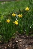 pingstlilja Påsklilja Pingstliljan blommar i vår i natur Pingstliljabakgrund yellow för modell för hjärta för blommor för fjärils arkivbild