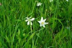 Pingstlilja - stjärna för vit blomma arkivfoto