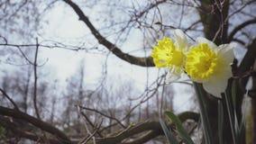 pingstlilja Stora påskliljor på en vårmorgon i vinden arkivfilmer
