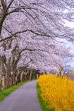 Pingstliljafältbana med det Cherry Blossom trädet arkivbilder