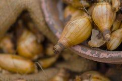Pingstliljakulor som är klara för att plantera Arkivbild