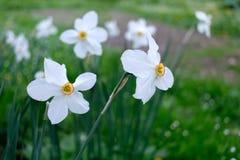 Pingstliljan blommar closeupen royaltyfri foto