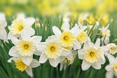 Pingstliljan blommar vit och guling Royaltyfri Fotografi