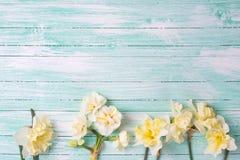 Pingstliljan för Beautifil vårguling på turkos målade träpl fotografering för bildbyråer