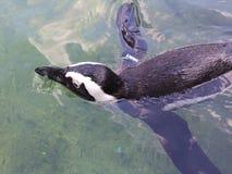 pinguïn royalty-vrije stock afbeelding