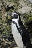Pinguïn stock afbeeldingen