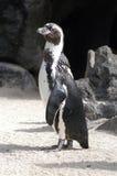 Pinguïn Royalty-vrije Stock Foto