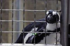 Pinguïn achter Staven Stock Fotografie