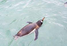 Pinguïn die in blauw water zwemmen royalty-vrije stock afbeeldingen
