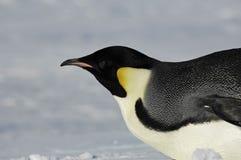 Pinguïn die dicht komt Royalty-vrije Stock Fotografie