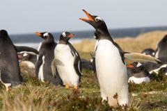 Pinguïn die (Gentoo) binnen de kolonie roepen falklands royalty-vrije stock foto