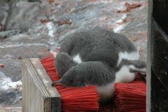 Pinguïn die op shoebrush rust Stock Afbeeldingen