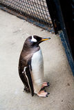 Pinguïn die uit door omheining kijken Royalty-vrije Stock Afbeelding