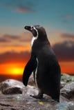 Pinguïn die zich op de rotsen bevinden stock foto