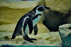 Pinguïn die zich op rand Peking bevinden stock afbeelding