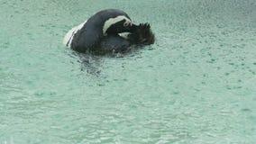 Pinguïn het zwemmen stock video