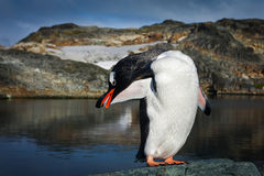 Pinguïn op de rotsen stock afbeelding