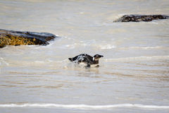 Pinguïn op het strand Stock Foto's
