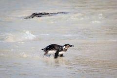Pinguïn op het strand Royalty-vrije Stock Fotografie