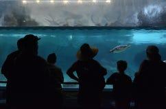 Pinguïn in Overzeese Wereld Gouden Kust Queensland Australië Stock Foto