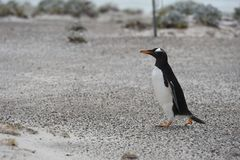 Pinguïn in Punta Arenas, Chili, Magdalena Island stock fotografie
