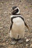 Pinguïn in Punta Tombo, Argentinië Stock Afbeeldingen