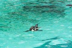 Pinguïn van Antarctisch Stock Foto