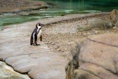 Pinguïn van Antarctisch Stock Foto's