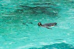 Pinguïn van Antarctisch Stock Fotografie