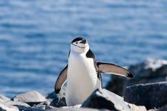 Pinguïn zijdelings Stock Foto's