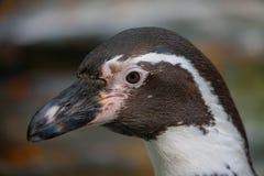 Pinguïndetail royalty-vrije stock afbeeldingen