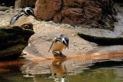 Pinguïnen Royalty-vrije Stock Foto