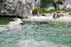 Pinguïnen bij de dierentuin Stock Afbeelding