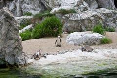 Pinguïnen bij de dierentuin Stock Afbeeldingen