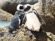 Pinguïnen bij Keien Stock Afbeelding