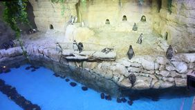 Pinguïnen in de dierentuin van Doubai De V.A.E Royalty-vrije Stock Afbeeldingen