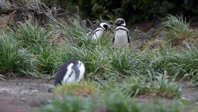 Pinguïnen die nesten in droog polair gebied bouwen stock footage