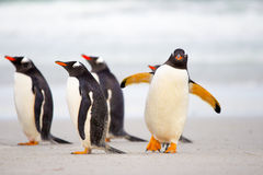Pinguïnen die op het strand lopen (Gentoo-Pinguïnen, Pygoscelis Papoea Stock Afbeelding