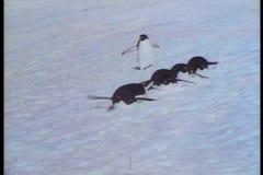 Pinguïnen die van water springen en op sneeuw en ijs uitglijden stock footage