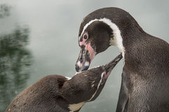 Pinguïnen in een Russische dierentuin Stock Afbeelding