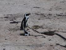 Pinguïnen in Kaappunt Zuid-Afrika Stock Afbeelding