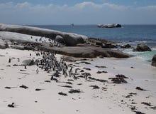 Pinguïnen in Kaappunt Zuid-Afrika Stock Afbeeldingen