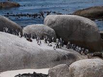 Pinguïnen in Kaappunt Zuid-Afrika Royalty-vrije Stock Afbeeldingen