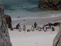 Pinguïnen in Kaappunt Zuid-Afrika Royalty-vrije Stock Foto's