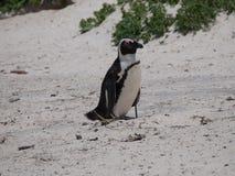 Pinguïnen in Kaappunt Zuid-Afrika Stock Foto