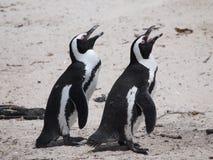 Pinguïnen in Kaappunt Zuid-Afrika Stock Foto's
