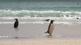 Pinguïnen - Magellan en Gentoo stock video