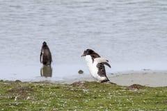 Pinguïnen - Magellan en Gentoo stock fotografie