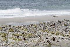Pinguïnen - Magellan en Gentoo stock foto's